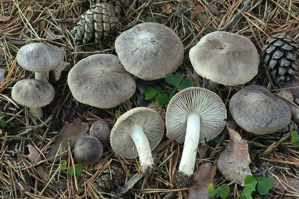 Hydnum albidum Peck (COMMESTIBILE) Foto Emilio Pini