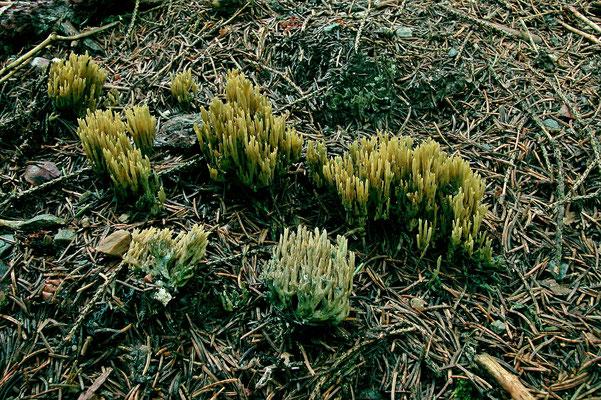Ramaria abietina (Pers.) Quél. (NON COMMESTIBILE) Foto Emilio Pini