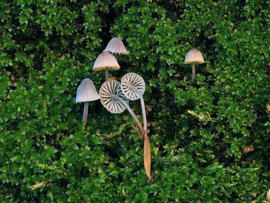 Mycena pseudocorticola Kühner (NON COMMESTIBILE) Foto Emilio Pini