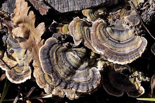 Trametes versicolor (L. : Fr.) Lloyd (NON COMMESTIBILE) Foto Emilio Pini