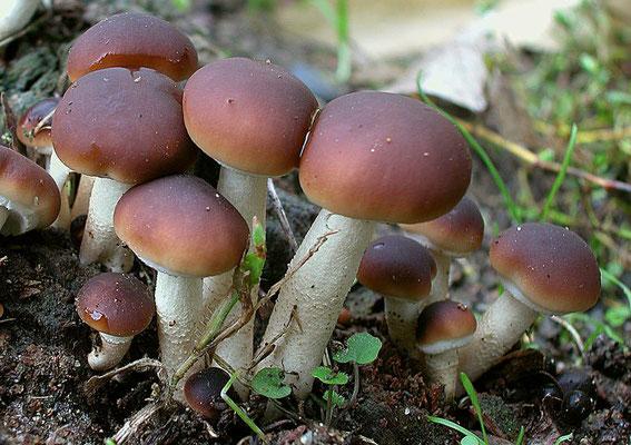 Agrocybe aegerita (V. Brig.) Singer (COMMESTIBILE) Foto Emilio Pini