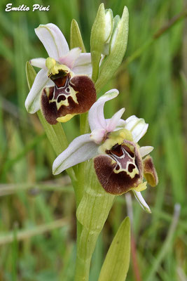 Ophrys dinarica