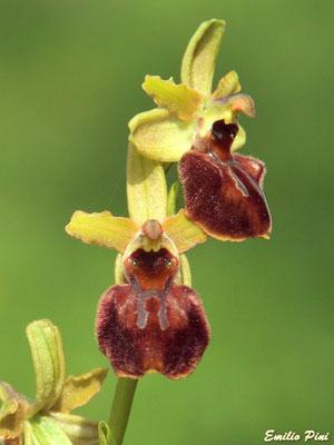 Ophrys sphegodes subsp sphegodes (Regione Lombardia)