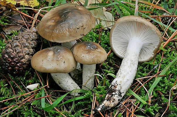 Hygrophorus latitabundus Britzelm. (COMMESTIBILE) Foto Emilio Pini