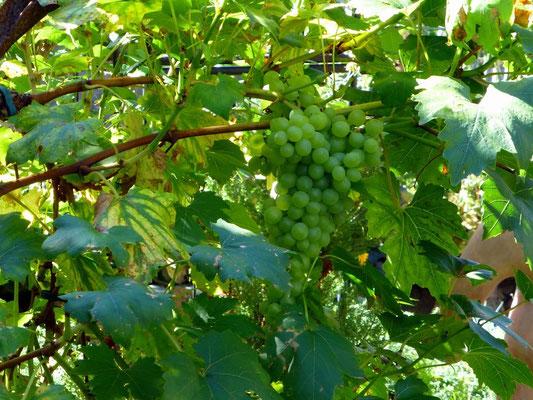 Grüner Wein