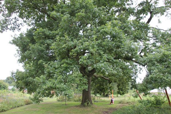 Die Eiche in der Mitte, einfach ein besonderer Baum