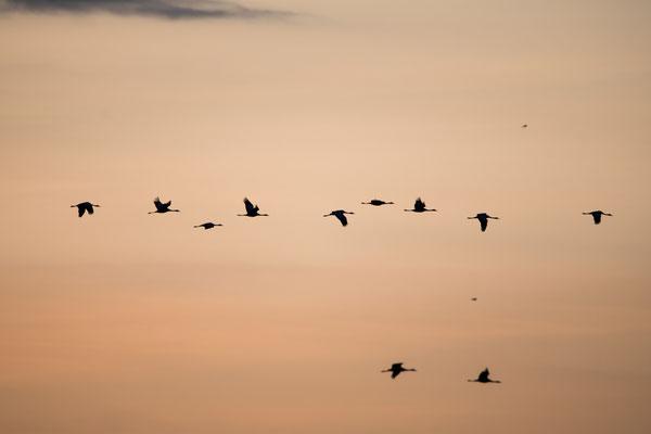 Bei Nauen waren die Kraniche wieder lautstark zu hören, als sie weiter Richtung Süden flogen.