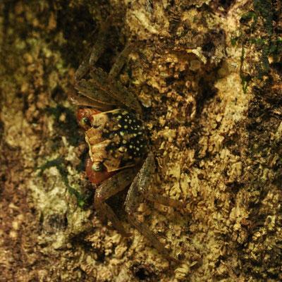 Crabe arboricole (Costa-Rica)