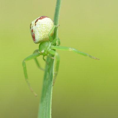 Araignée-crabe (Alsace)
