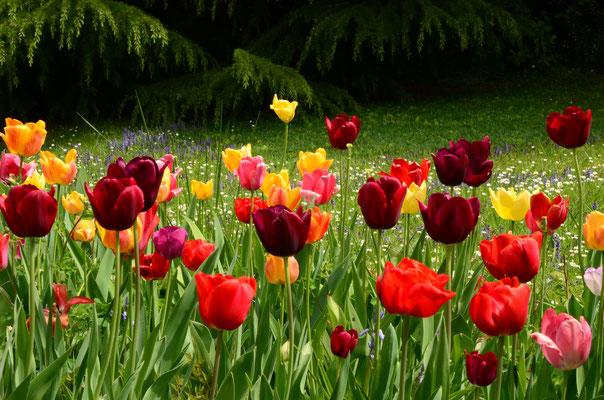 Tulipes de toutes les couleurs