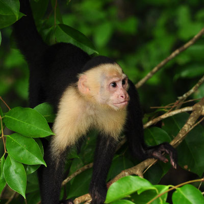 Capucin moine (Costa Rica)