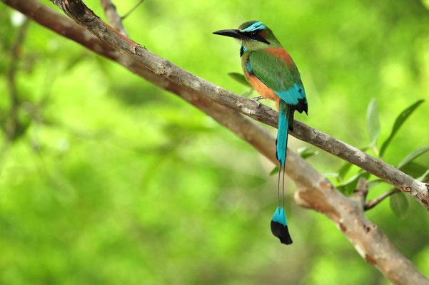 Motmot à sourcils bleus (Costa Rica)