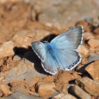 Adonis bleu (Alsace)