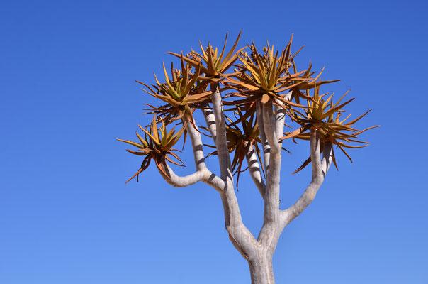 Arbre à carquois (Namibie)