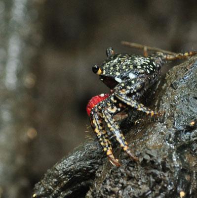 Crabe des mangroves (Costa-Rica)