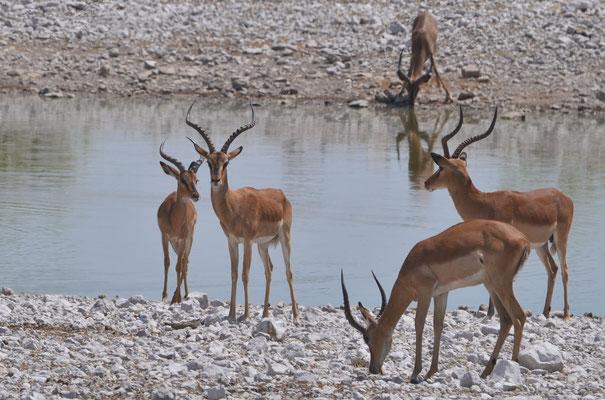 Impalas (Namibie)