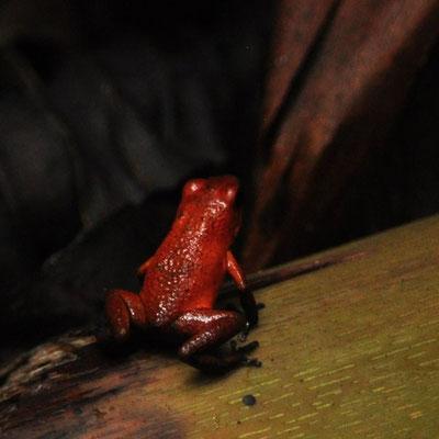Dendrobate fraise (Costa Rica)