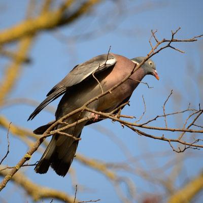 Pigeon ramier (Languedoc)
