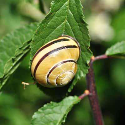 Escargot des bois (Alsace)