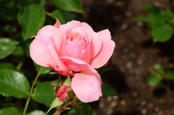 Parfum d'une belle rose