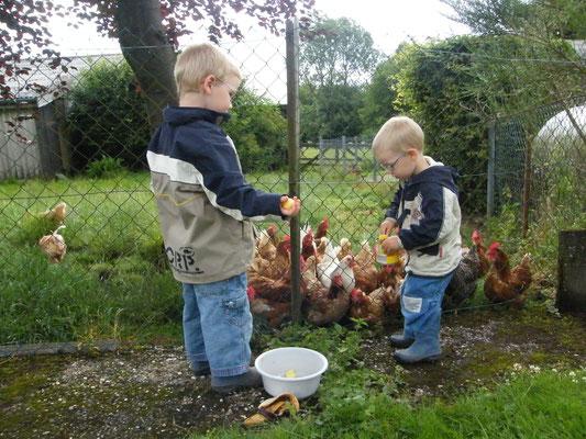 Hühner füttern
