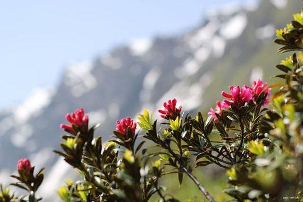 3019a alpenrose mit bergen