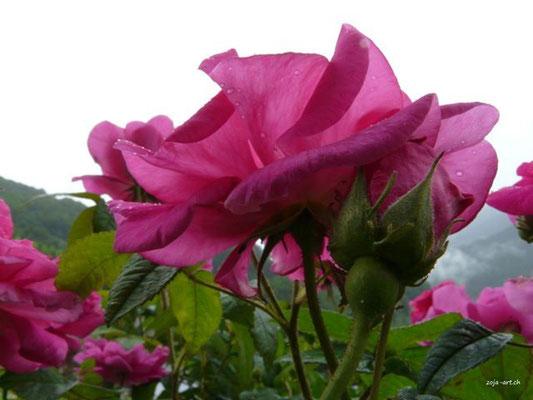 3056 rose