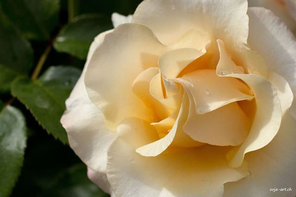 3058 weisse rose