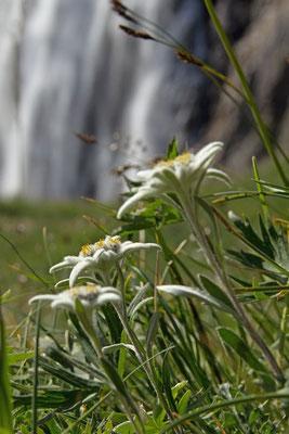 3059 edelweiss