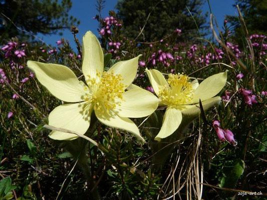 3036 anemonen und erika