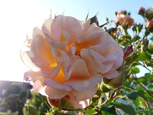 3057 rose mit knospen
