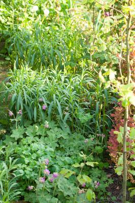 Die Hinterpflanzung an der Grundstücksgrenze auch Felsenstorchschnabel und hoher Aster