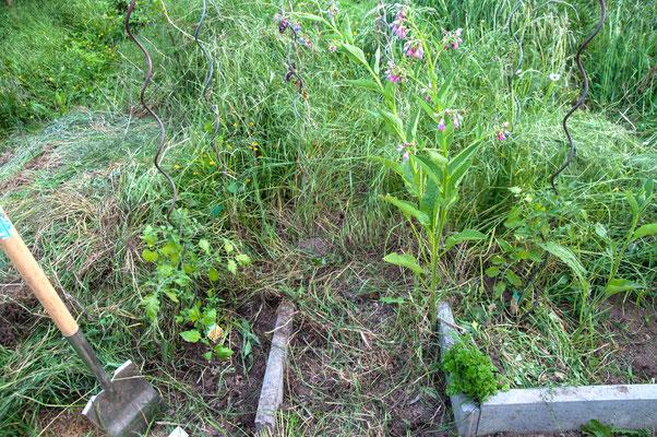 Mai - Die ersten Tomaten 'Solena Yellow'