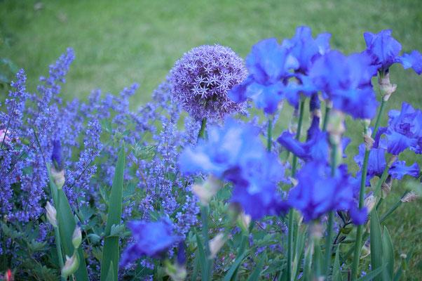 Allium 'Globemaster' mit Iris barbata 'Blue Crusader'