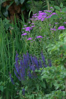 Ein Sämling und Salvia nemorosa 'Blauhügel'