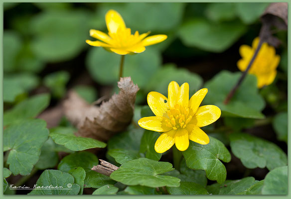 Ranunculus ficaria - Scharbockskraut