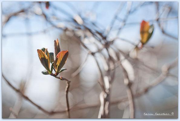 Waldgeißblatt schlingt sich in die Holunderbüsche