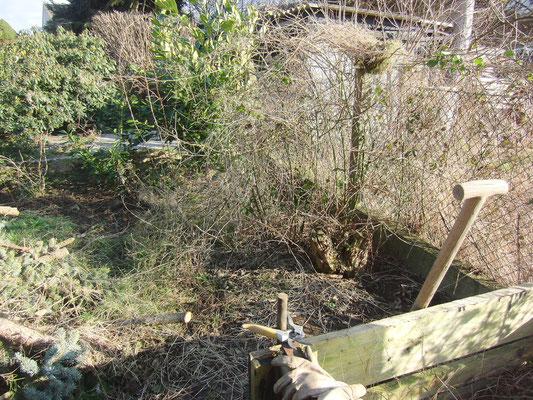 Damit später die wilde Brombeere nicht durch die Totholzhecke wuchert, grabe ich sie aus... in der Gewissheit, dass das vergebene Mühe ist.