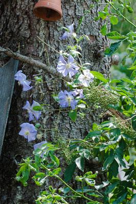 Clematis 'Perle d'Azur' blüht im ersten Standjahr.