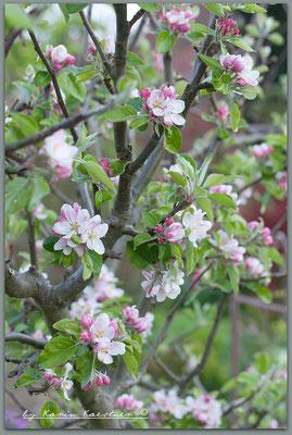 April - James Grieve am Apfelspalier