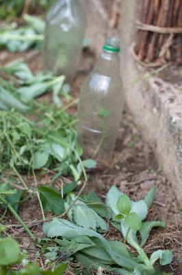 Mai - Gurken zum Teil mit Schneckenschutz
