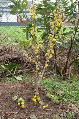 Die Winterlinge sind jetzt auch hierher umgezogen (Eranthis hyemalis und Eranthis cilicica)