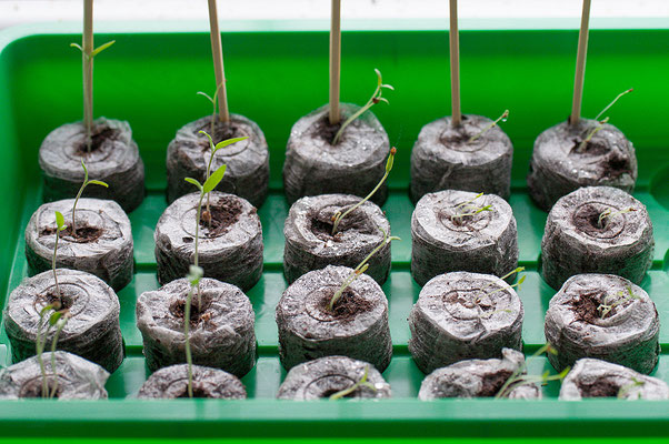 17.03. V.l.: Tomaten 'Black Plum', 'Red Cherry', 'Gelbe Johannisbeere'