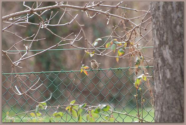 28.02. Zaunkönige im Stillen Garten