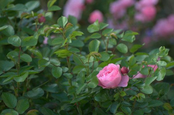 Nach der Blattlausplage, die erste Blüte von Leonardo da Vinci