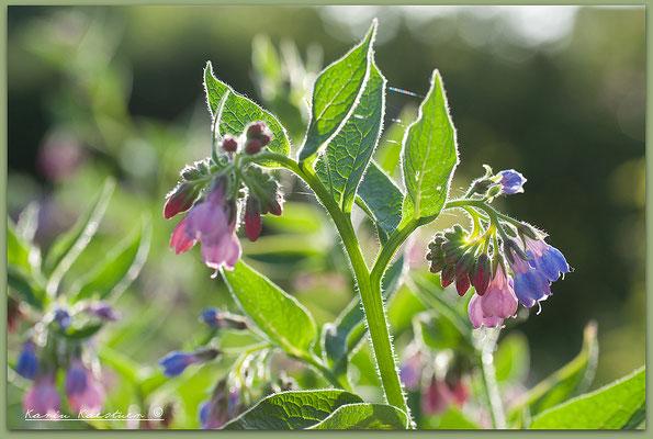 Symphytum officinalis - Beinwell