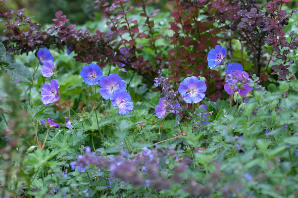 Nepeta 'Walkers Low' / Geranium 'Rozanne' / Berberitze Berberis thunbergii 'Orange Rocket'