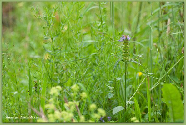Prunella vulgaris - Kleine Braunelle