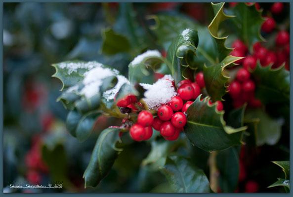 Ilex aquifolium - Gemeine oder Europäische Stechpalme