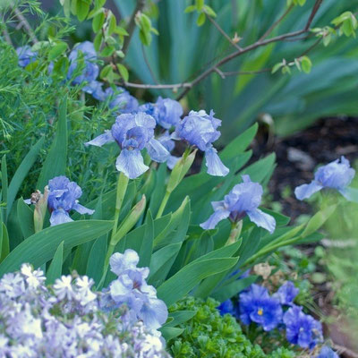 Iris barbata-nana 'Blue Denim' /  Phlox subulata 'Emerald Cushion Blue'